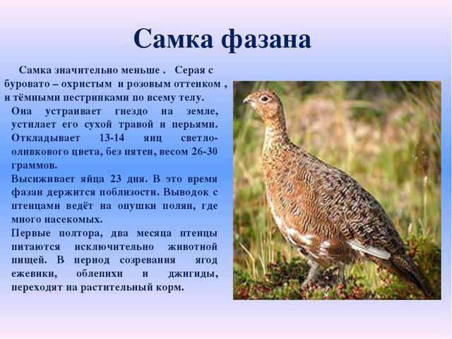 Самка фазана Она устраивает гнездо на земле, устилает его сухой травой и пер...
