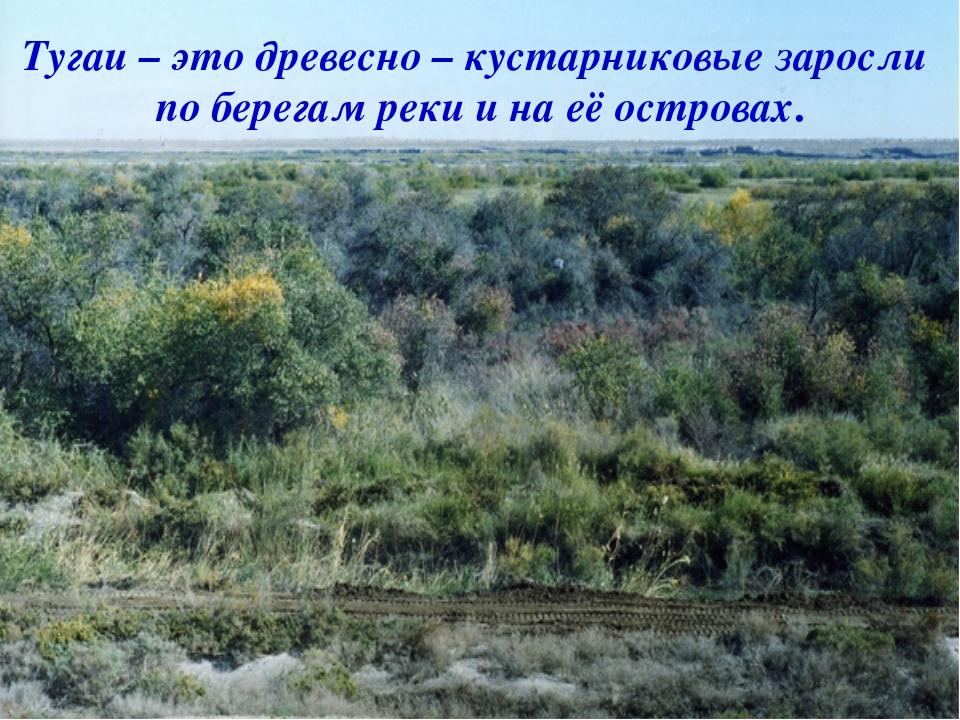 . Тугаи – это древесно – кустарниковые заросли по берегам реки и на её остро...