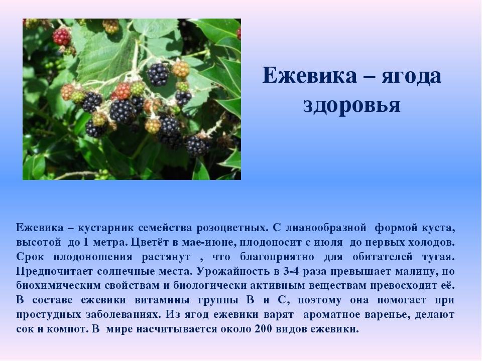 Ежевика – ягода здоровья Ежевика – кустарник семейства розоцветных. С лианоо...