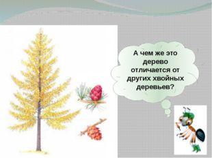 А чем же это дерево отличается от других хвойных деревьев?