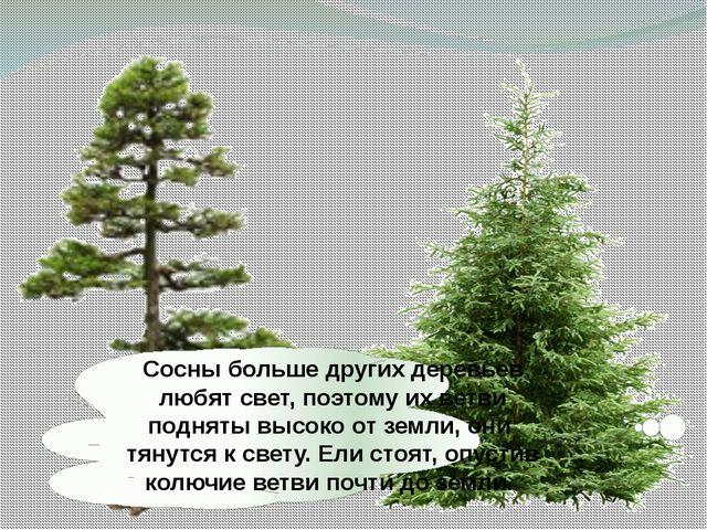 Сосны больше других деревьев любят свет, поэтому их ветви подняты высоко от з...