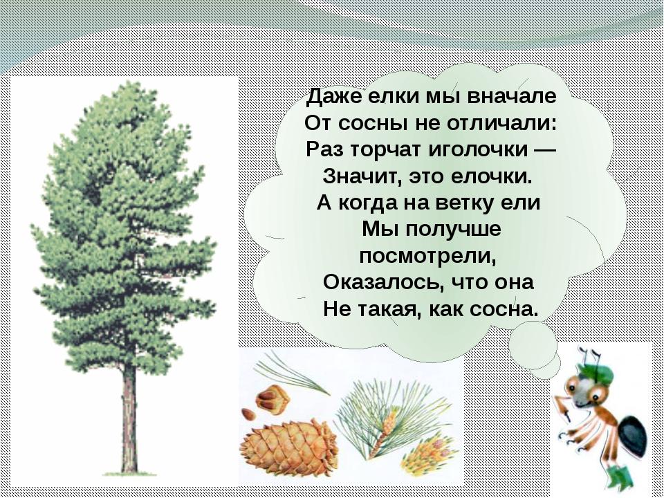 Даже елки мывначале Отсосны неотличали: Раз торчат иголочки— Значит, это...