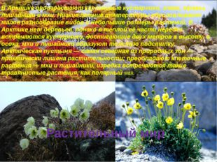 Растительный мир В Арктике произрастают карликовые кустарники, злаки, травы,