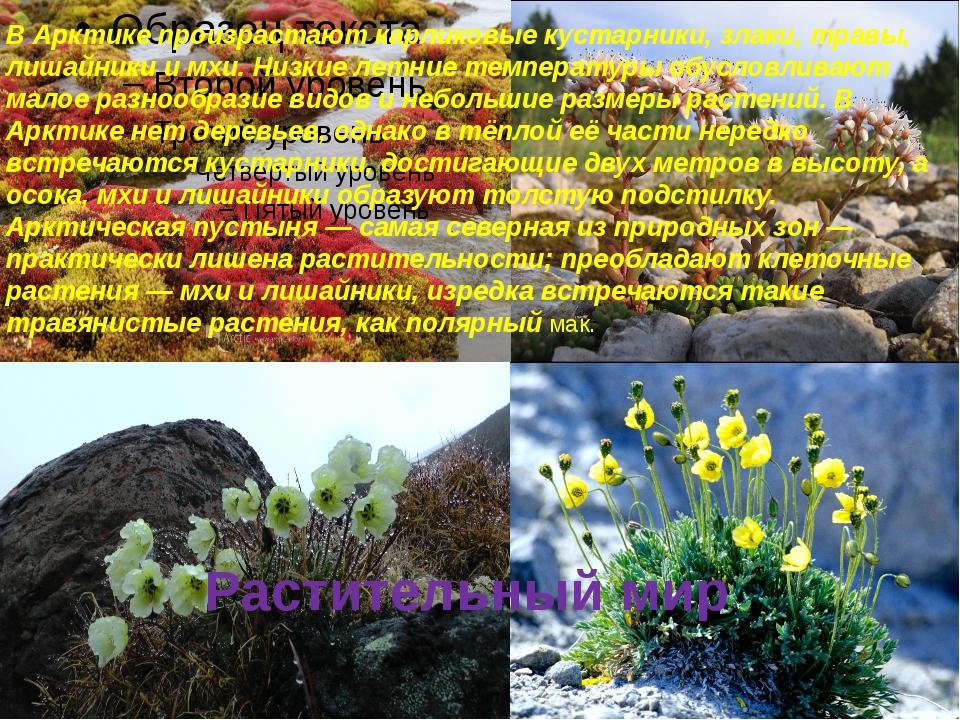 Растительный мир В Арктике произрастают карликовые кустарники, злаки, травы,...