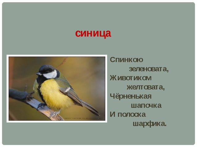 синица Спинкою зеленовата, Животиком желтовата, Чёрненькая шапочка И полоска...