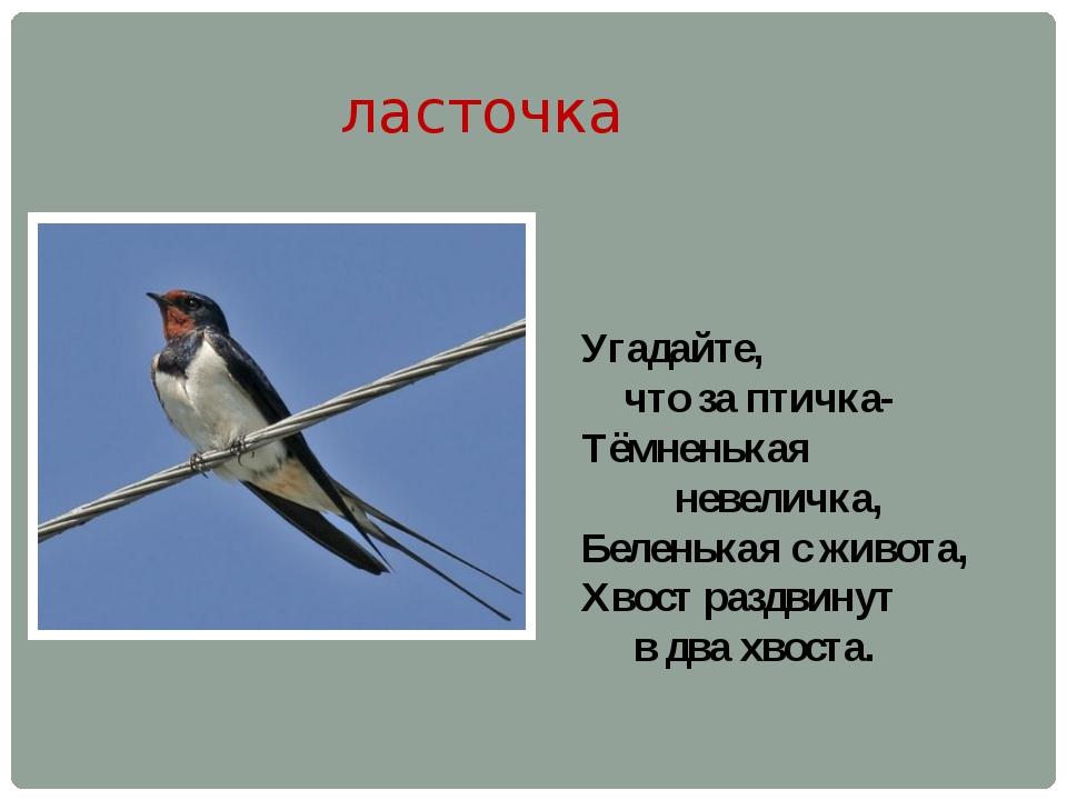 ласточка Угадайте, что за птичка- Тёмненькая невеличка, Беленькая с живота, Х...