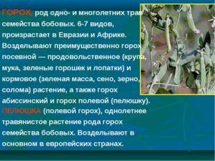 ПЕЛЮШКА (полевой горох), однолетнее травянистое растение рода горох семейства