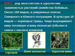 Заросли вики Мышиный горошек Вика мохнатая ВИКА , род многолетних и однолетни