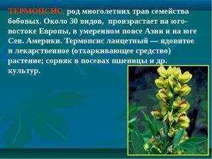 ТЕРМОПСИС, род многолетних трав семейства бобовых. Около 30 видов, произраста
