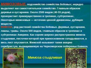 МИМОЗОВЫЕ, подсемейство семейства бобовых; нередко выделяют как самостоятельн