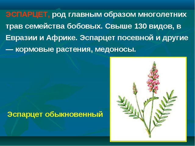 ЭСПАРЦЕТ, род главным образом многолетних трав семейства бобовых. Свыше 130 в...