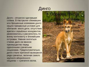 Динго Динго – вторично одичавшая собака. В Австралии сбежавшие или брошенные