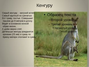 Кенгуру Серый кенгуру - могучий атлет, Самый крупный из сумчатых. Ест траву,