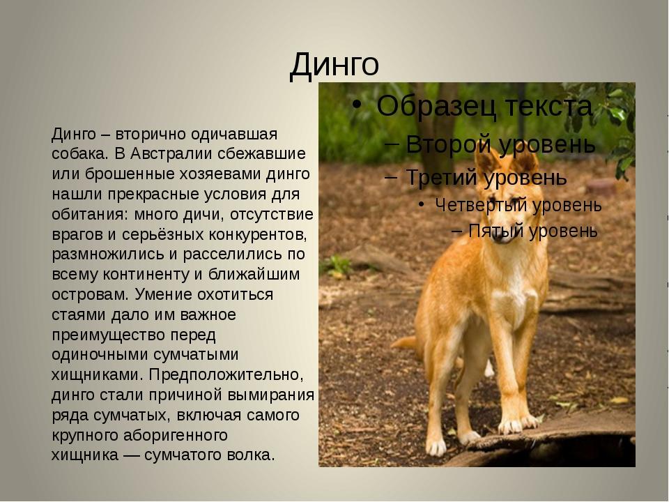 Динго Динго – вторично одичавшая собака. В Австралии сбежавшие или брошенные...