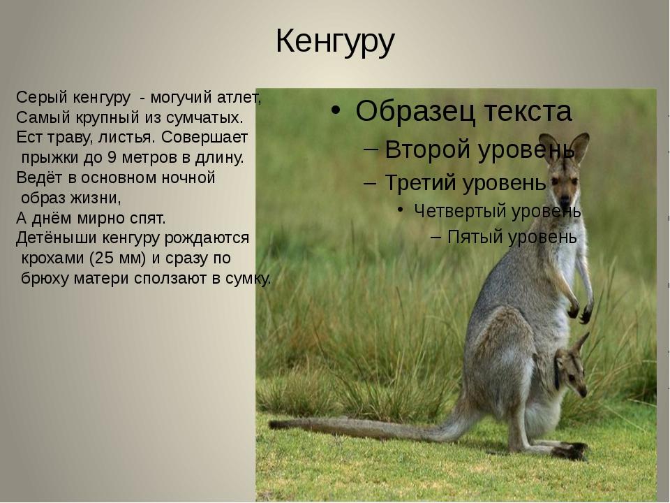 Кенгуру Серый кенгуру - могучий атлет, Самый крупный из сумчатых. Ест траву,...