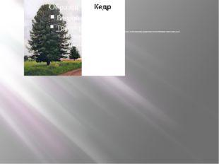 Кедр сибирский - хвойное, вечнозеленое крупное стройное, светолюбивое дерево