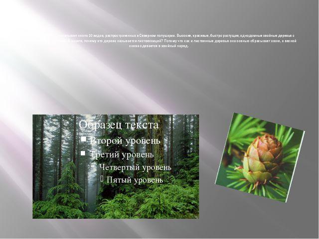 Лиственница- Род насчитывает около 20 видов, распространенных в Северном пол...