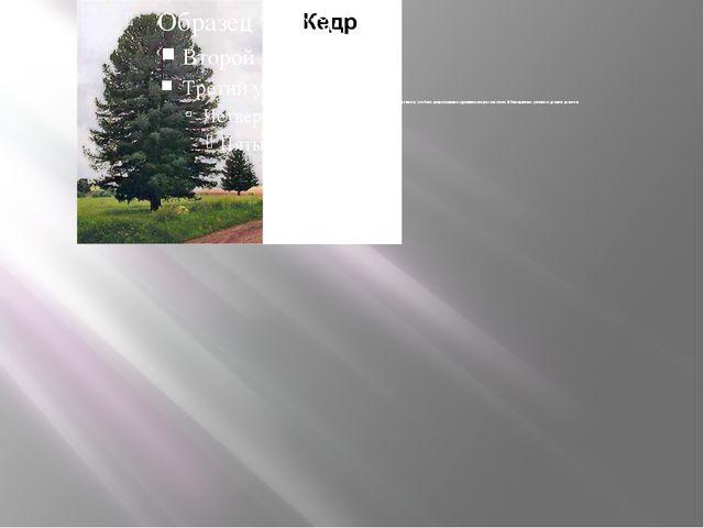 Кедр сибирский - хвойное, вечнозеленое крупное стройное, светолюбивое дерево...