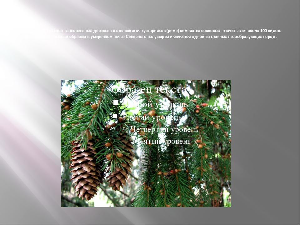 Сосна - род хвойных вечнозеленых деревьев и стелющихся кустарников (реже) се...