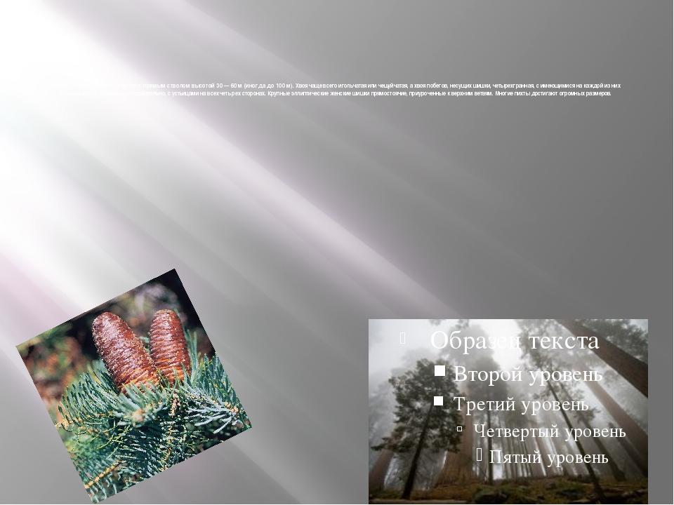 Пихта — однодомное дерево с прямым стволом высотой 30 — 60 м (иногда до 100...
