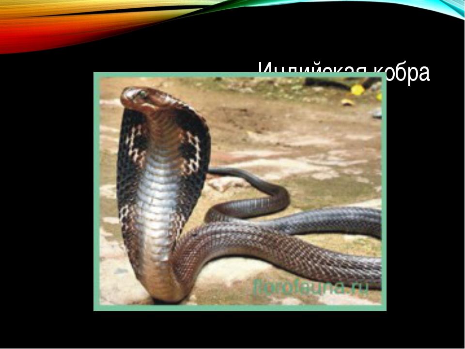 Индийская кобра