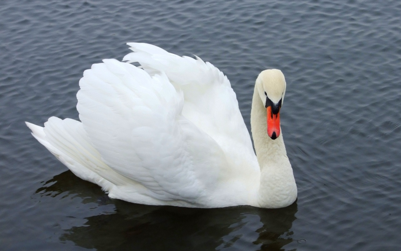 G:\лебедь птица.jpg