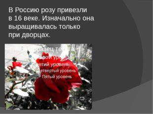 В Россию розу привезли в 16 веке. Изначально она выращивалась только при двор