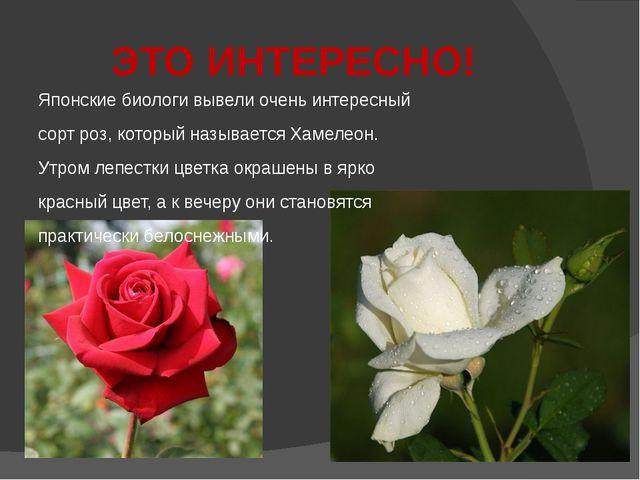 ЭТО ИНТЕРЕСНО! Японские биологи вывели очень интересный сорт роз, который наз...
