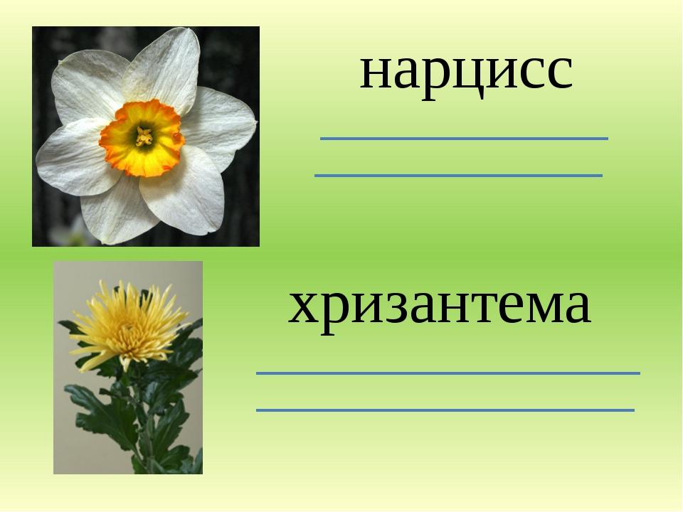 нарцисс хризантема