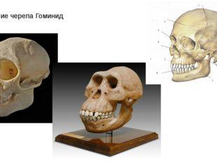 Строение черепа Гоминид