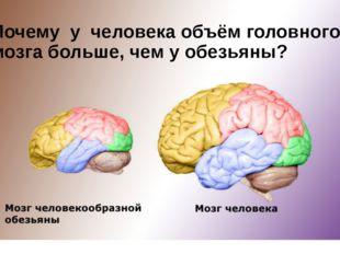 Почему у человека объём головного мозга больше, чем у обезьяны?