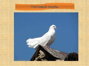 Почтовый голубь.