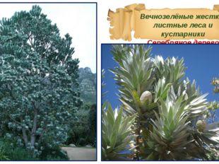 Вечнозелёные жестко-листные леса и кустарники Серебряное дерево