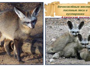 Вечнозелёные жестко-листные леса и кустарники Алжирская лисица