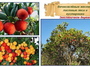 Вечнозелёные жестко-листные леса и кустарники Земляничное дерево