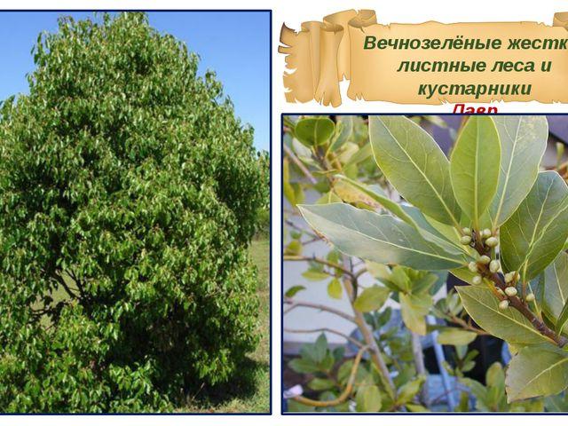 Вечнозелёные жестко-листные леса и кустарники Лавр