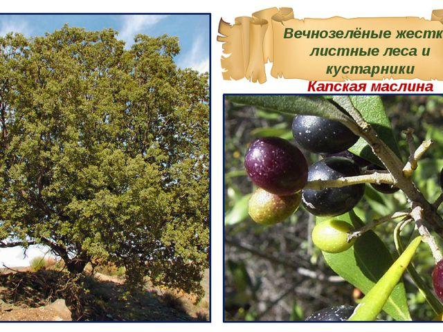 Вечнозелёные жестко-листные леса и кустарники Капская маслина
