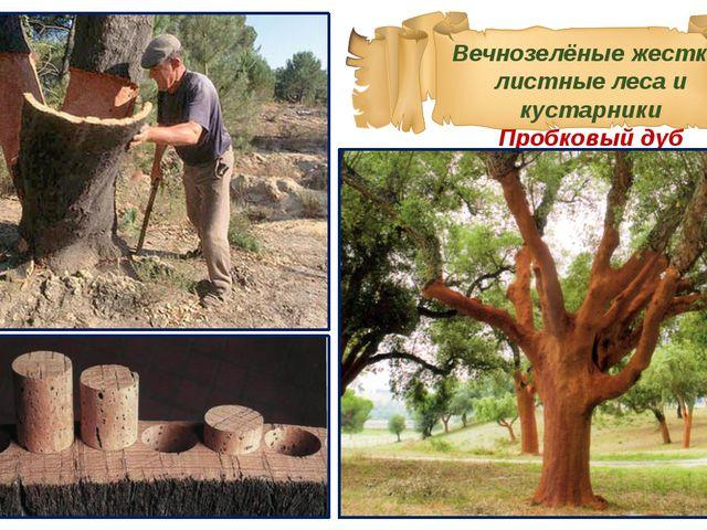 Вечнозелёные жестко-листные леса и кустарники Пробковый дуб