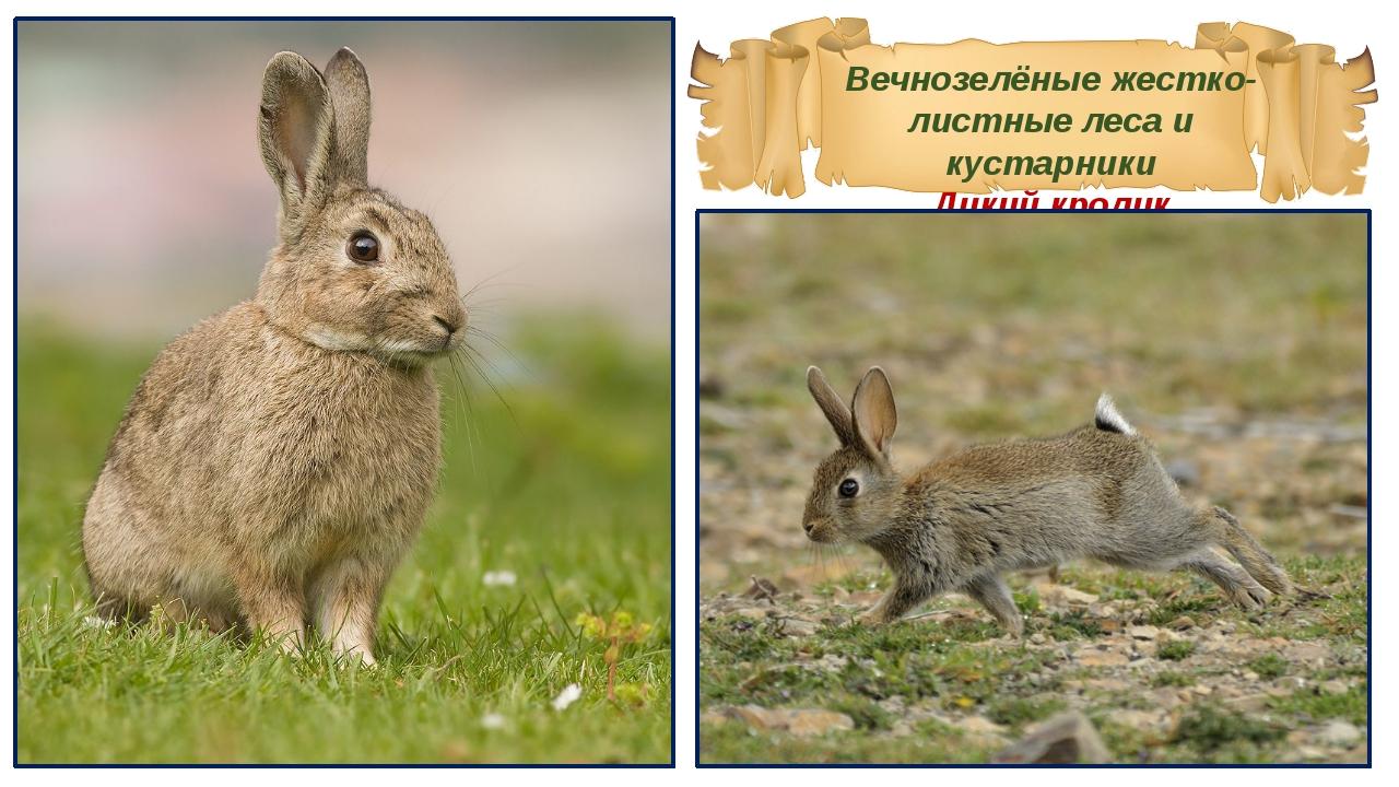 Вечнозелёные жестко-листные леса и кустарники Дикий кролик