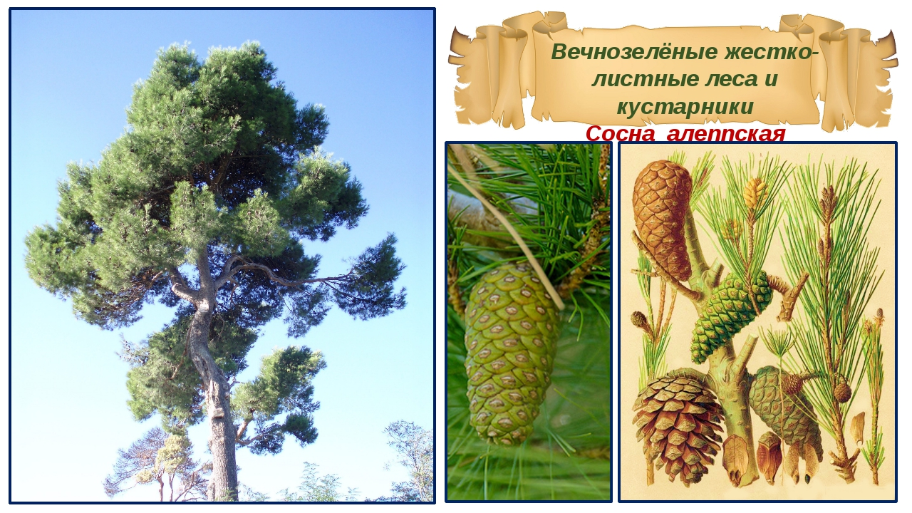 Вечнозелёные жестко-листные леса и кустарники Сосна алеппская