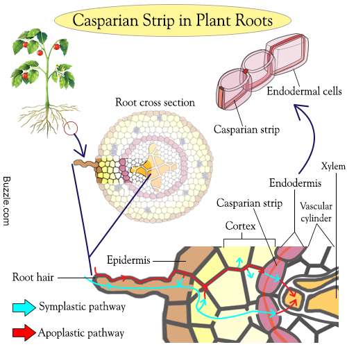 http://www.buzzle.com/images/diagrams/casparian-strip-plant-root.jpg