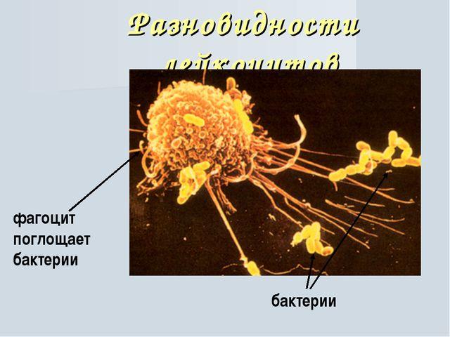 Разновидности лейкоцитов фагоцит поглощает бактерии бактерии