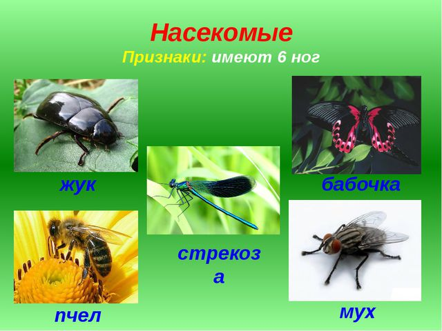 Насекомые Признаки: имеют 6 ног жук стрекоза бабочка муха пчела
