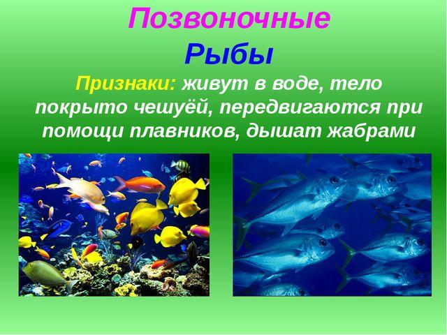 Позвоночные Рыбы Признаки: живут в воде, тело покрыто чешуёй, передвигаются п...