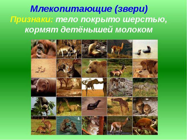 Млекопитающие (звери) Признаки: тело покрыто шерстью, кормят детёнышей молоком