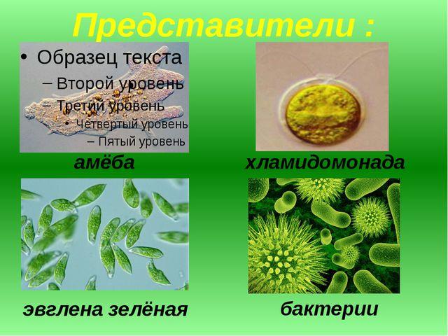 Представители : амёба хламидомонада эвглена зелёная бактерии
