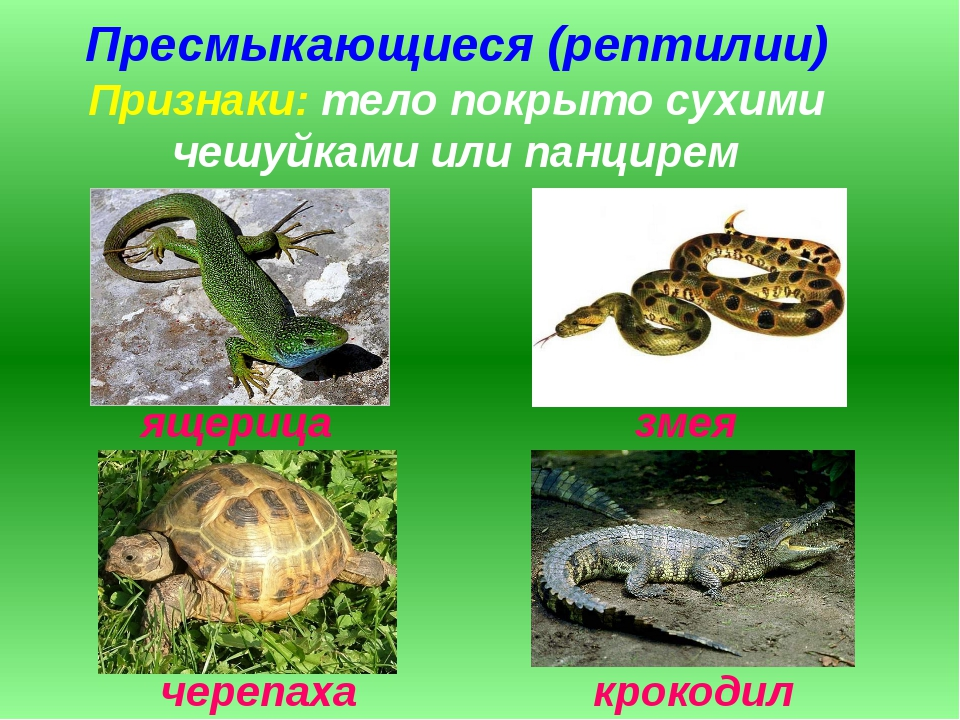 Пресмыкающиеся (рептилии) Признаки: тело покрыто сухими чешуйками или панцире...
