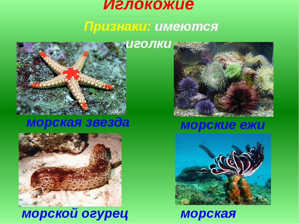 Иглокожие Признаки: имеются иголки морская звезда морские ежи морская лилия м...