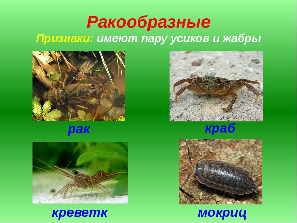 Ракообразные Признаки: имеют пару усиков и жабры рак краб мокрица креветка