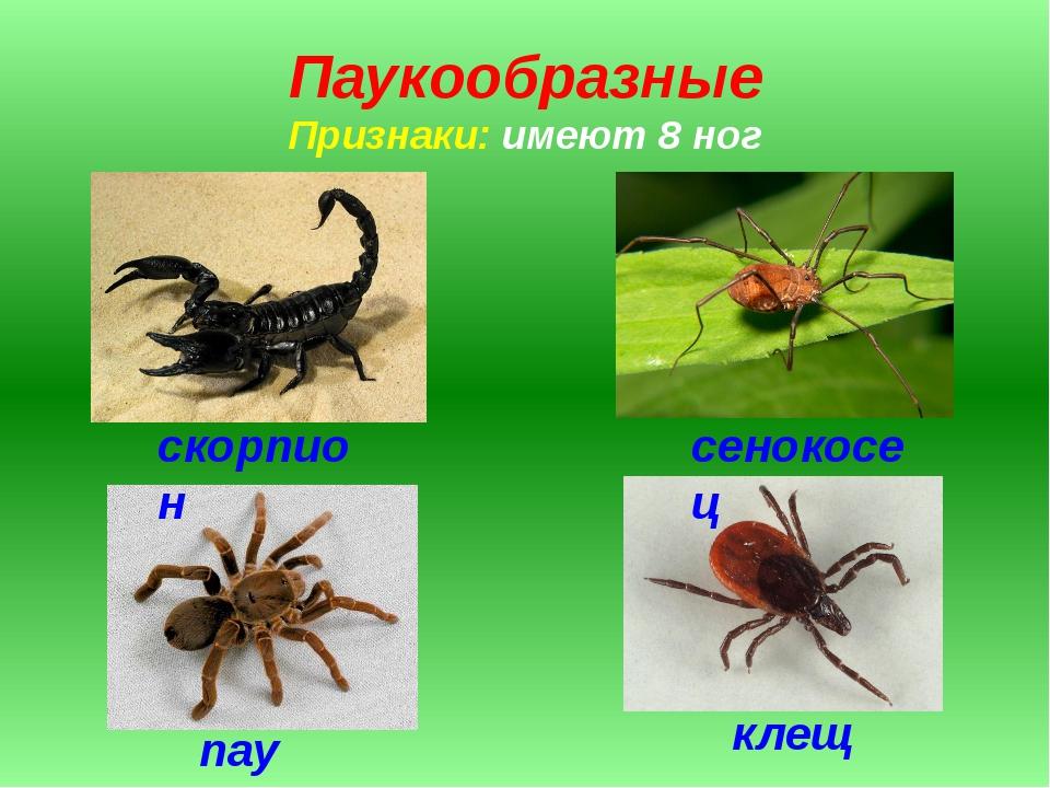 Паукообразные Признаки: имеют 8 ног скорпион сенокосец паук клещ